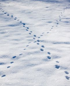 4298704-animal-footprints-on-snow
