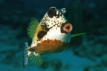 smooth-trunkfish