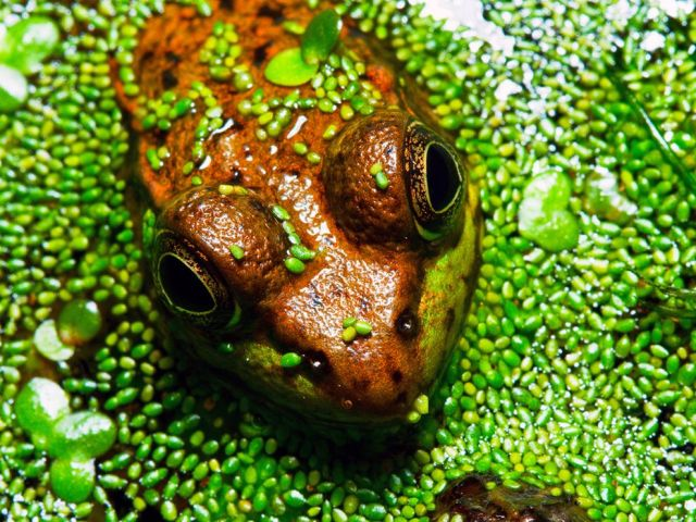 wood-frog-swamp