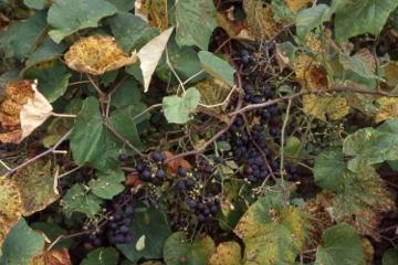 Grape.360