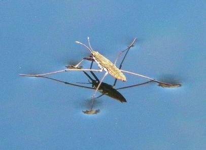 water-strider-e1534377996743.jpg